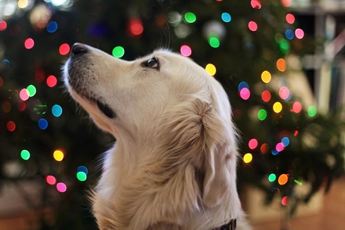Labrador in front of a tree with lights on it. Get your carpets cleaned to get relief from allergens like pet dander and dust mites.